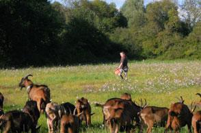 chèvres dans les champs